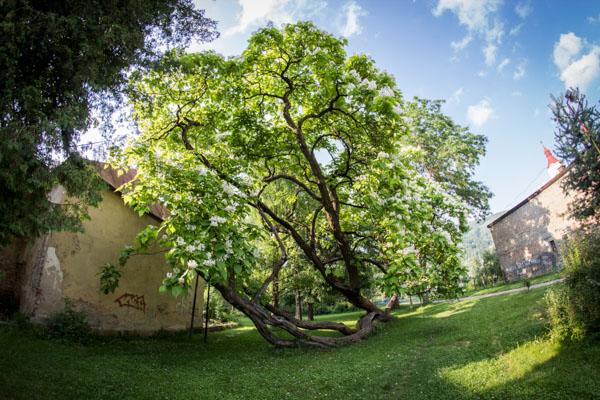 V kraji sú traja finalisti ankety Strom roka, dva sú nablízku R. Soboty