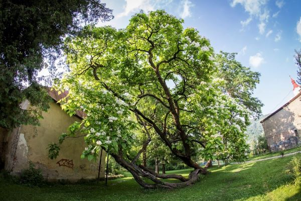 Katalpa z Hnúšte to má našliapnuté na Strom roka
