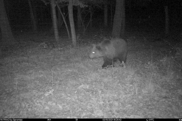 V okolí Tisovca sa potulujú dve medvedice s malými. Mesto upozorňuje občanov